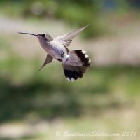 Humming Bird by SundancerStudio