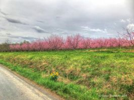 Apple Orchard - Spring Blossoms by jim88bro