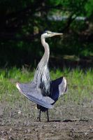 Heron WUT by Bombird