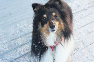 Snow sheltie by martiinej