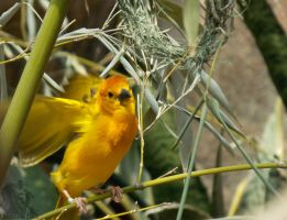 Taveta Golden Weaver Display by Ciameth