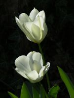 white tulips by riviera2008