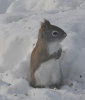 Snow Squirrel by Ratofblades