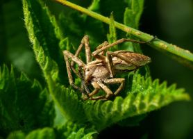 Nursery Web Spider relaxing by TheFunnySpider