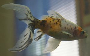 gold fish spotted or mermaid tail 23 by scratzilla