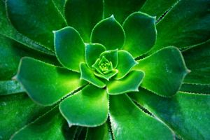 Houseleek in the greenhouse by attomanen