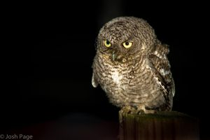 Baby Eastern Screen Owl - Rockland County by JoshPage