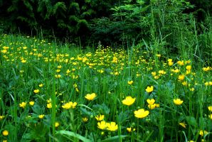 Field Of Buttercups by PamplemousseCeil