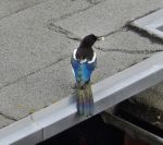 Magpie on the roof by Finnyanne