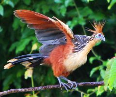 Hoatzin Stretching by MLM47