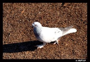 pigeon 2 by mufash