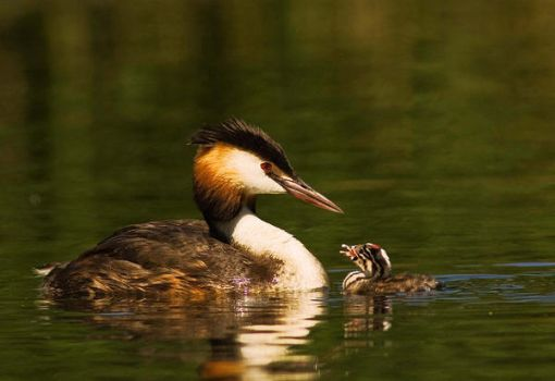 Great Crested Grebe with Young by rosie-a-g