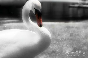 Frozen Swan  .. by ST-ST