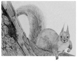 Red Squirrel by nectar666