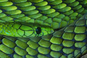 Western Green Mamba by Blaklisted
