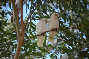 Little Corella I by iskarlata