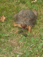 Boxing Turtle 06.23.2012 by AceOfStCanardKLy