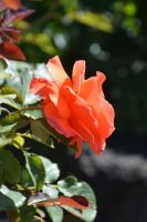 A rose for Birthday of Birgit by A1Z2E3R