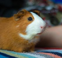 Guinea pig stock by amka-stock