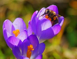First bee and first flower by Samantha-meglioli