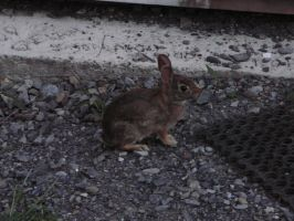 Bunny in my yard 4 by TwilitTiger