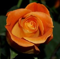 Orange rose stock 4 by anbdstock