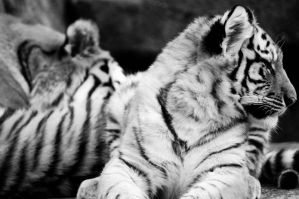 Amur Tigers by SkyRats