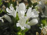White flowers of the Mediterranean Thyme by floramelitensis