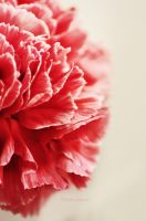 Red Carnation by LindaMarieAnson