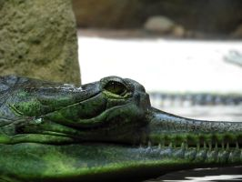 cambals gavial by AloneJane