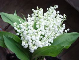 Lily of the valley by Cressens
