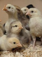 week old chicks by HumbleBeez