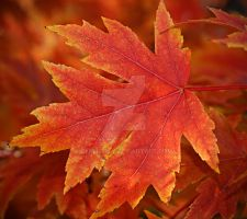 Fall Leaf 3 by explicitly