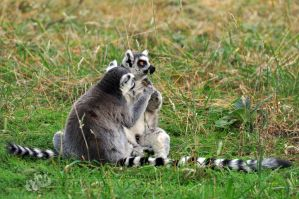 YWP-Ring-Tailed Lemur Cuddles IV by ImLookingForTime