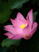 Nelumbo nucifera by NorthBlue