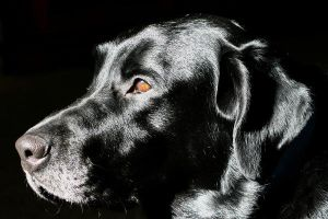 Black Lab by Geak-of-Nature