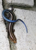 Five-Lined Skink by FallOut99
