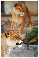 lioneses 1 by FMpicturs