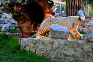 White Bengal Tiger by TheNimster