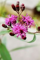 Thistle by Mallenroh001