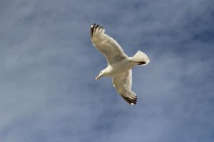 Dutch seagull by pagan-live-style