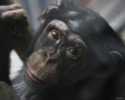 Chimpanzee 7 by Globaludodesign
