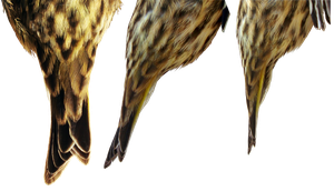 Pine Siskin tail by Treeclimber-Stock
