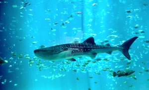 Whale Shark by Angela-teh-Platypus