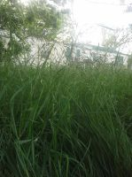 A view of Texan grass by Greenland-Angelica-J