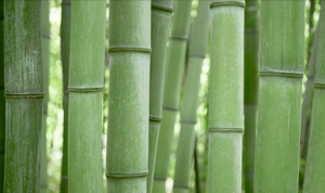 Bamboo by jakeroot