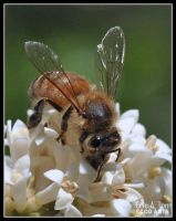 Honey Bee by Eccoton