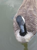 Canadian goose 06 by CotyStock