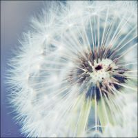 A wounded dandelion by CrazyMurdock1