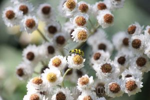 Spotted Cucumber Beetle by mange